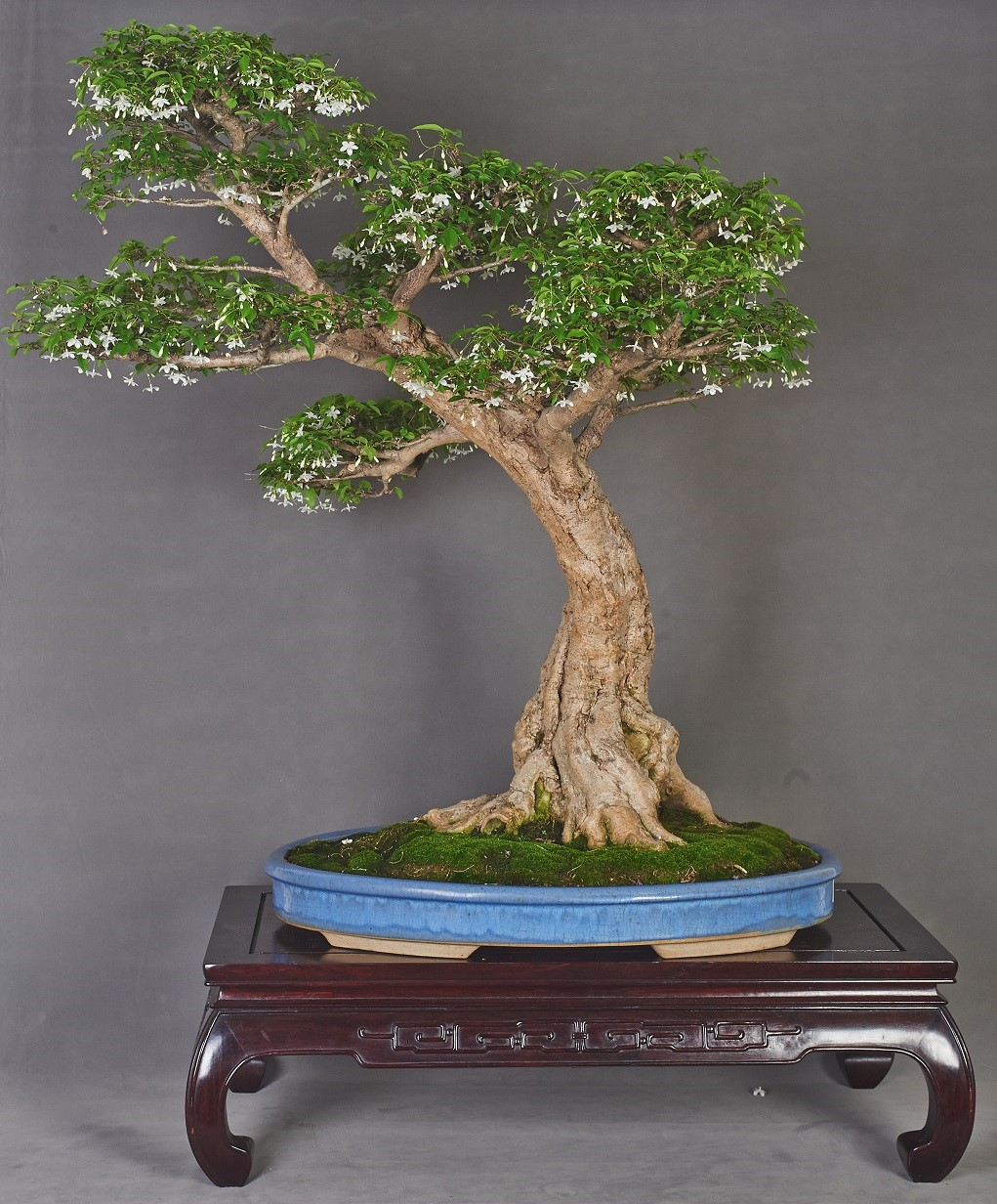 Penjing Singapore And Stone Appreciation Society Bonsai Without Wiring Cultivation Training Of Plants Such As Pruning Fertilising Together With Stringent Care Artistic Skills The Creator Over A Period